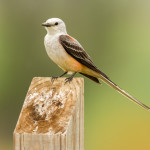 3487 Scissor-tailed Flycatcher (Tyrannus forficatus), Hagerman NWR, Texas