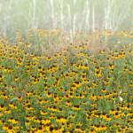 3488 Black-eyed Susan Rudbeckia, Hagerman NWR, Texas
