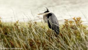 3489 Great Blue Heron (Ardea herodias), Hagerman NWR, Texas