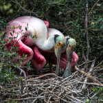 3491 Roseate Spoonbills Nesting, High Island Rookery, Texas