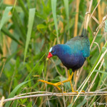 3492 Purple Gallinule (Porphyrio martinicus), Anahuac NWR, Texas