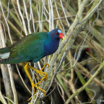 3493 Purple Gallinule (Porphyrio martinicus), Anahuac NWR, Texas