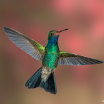 3496 Male Broad-billed Hummingbird (Cynanthus latirostris), Southern Arizona