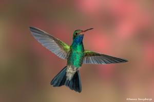 3496 Male Broad-billed Hummingbird (Cynanthus latirostris), Southern Arizona