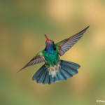 3497 Male Broad-billed Hummingbird (Cynanthus latirostris), Southern Arizona