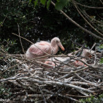 3498 Roseate Spoonbill Chicks, High Island Rookery, Texas