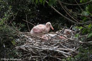 3498 Roseate Spoonbill Chicks, High Island Rookery, Texas