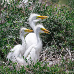 3500 Great Egret Chicks, High Island Rookery, Texas