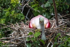 3501 Breeding Roseate Spoonbill (Platalea ajaja). High Island Rookery, Texas