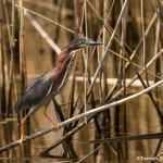 3504 Green Heron (Butorides virescens). Anahuac NWR, Texas