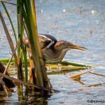 3512 Green Heron (Butorides virescens). Anahuac NWR, Texas