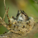 3516 Newborn Black-chinned Hummingbird (Archilovhus alexandri), Sonoran Desert, Arizona