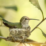 3517 Female Black-chinned Hummingbird (Archilochus alexandri) on Nest. Sonoran Desert, Arizona