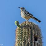 3518 Cactus Wren (Campylohynchus brunneicapillus). Sonoran Desert, Arizona