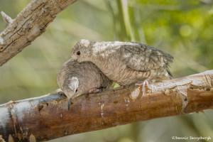 3519 Inca Dove (Columbina inca). Sonoran Desert, Arizona