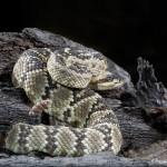 3520 Black-tailed Rattlesnake (Crotalus molossus), Sonoran Desert, Arizona