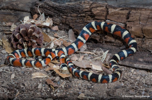 3522 Sonoran Mountain Kingsnake (Lampropeltis pyromelana). Sonoran Desert, Arizona