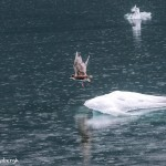 3524 Glaucous Gulls, Endicott Arm, Alaska