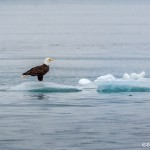 3526 Bald Eagle, Endicott Arm, Alaska