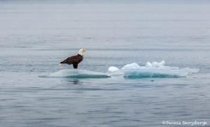 3526 Bald Eagle, Endicott Arm, Alaska