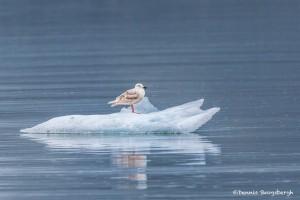 3527 Glaucous Gull, Endicott Arm, Alaska