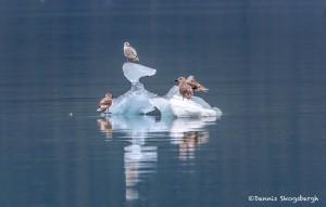 3528 Glaucous Gulls, Endicott Arm, Alaska