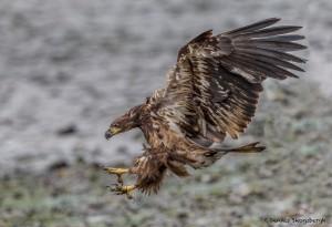 3532 Immature Bald Eagle, Alaska