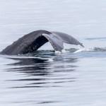 3533 Humpback Whale, Alaska