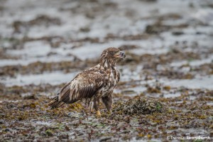 3534 Immature Bald Eagle, Alaska