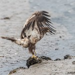 3535 Immature Bald Eagle, Alaska