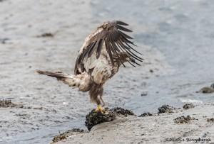 3535 Immature Bald Eagle, Alaska