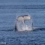 3546 Killer Whale (Orcinus orca), Alaska