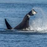 3547 Killer Whale (Orcinus orca), Alaska