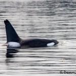 3550 Killer Whale (Orcinus orca), Alaska