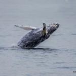 3552 Breaching Humpback Whale, Alaska