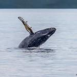 3553 Breaching Humpback Whale, Alaska