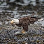 3554 Bald Eagle, Alaska
