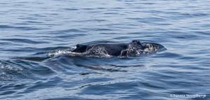 3555 Humpback Whale, Alaska