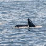 3556 Humpback Whale, Alaska