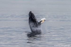 3562 Breaching Humpback Whale, Alaska