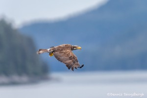 3564 Immature Bald Eagle, Endicott Arm, Alaska