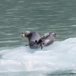 3565 Harbor Seals, Endicott Arm, Alaska