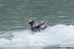 3565 Harbor Seals, Endicott Arm, Alaska