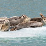 3566 Harbor Seals, Endicott Arm, Alaska