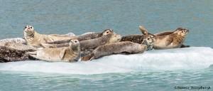 3566 Harbor Seals, Endicott Arm, Alaska