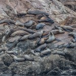 3567 Steller Sea Lions Haul-out, Brothers Islands, Southeast Alaska