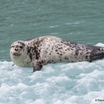 3568 Harbor Seal, Endicott Arm, Alaska