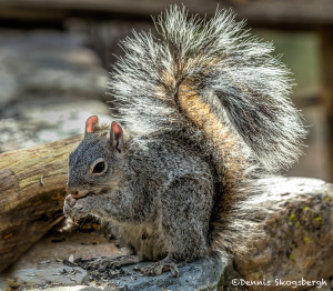 3573 Arizona Gray Squirrel (Sciurus arizonensis), Soronan Desert, Arizona
