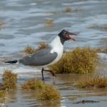 3576 Laughing Gull (Leudophaeus atricilla). Bolivar Peninsula, Texas