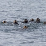 3577 Sea Otters (Enhydra lutris), Alaska